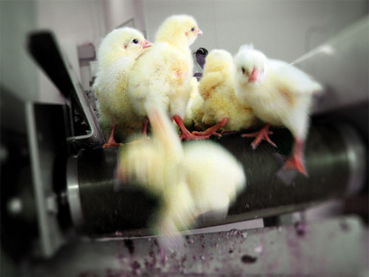 Male chicks on a conveyor belt that ends in a blender